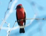 Ave roja palo