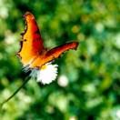 Fauna mariposa roja