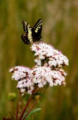 Fauna mariposa