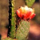 Flora flor nopal